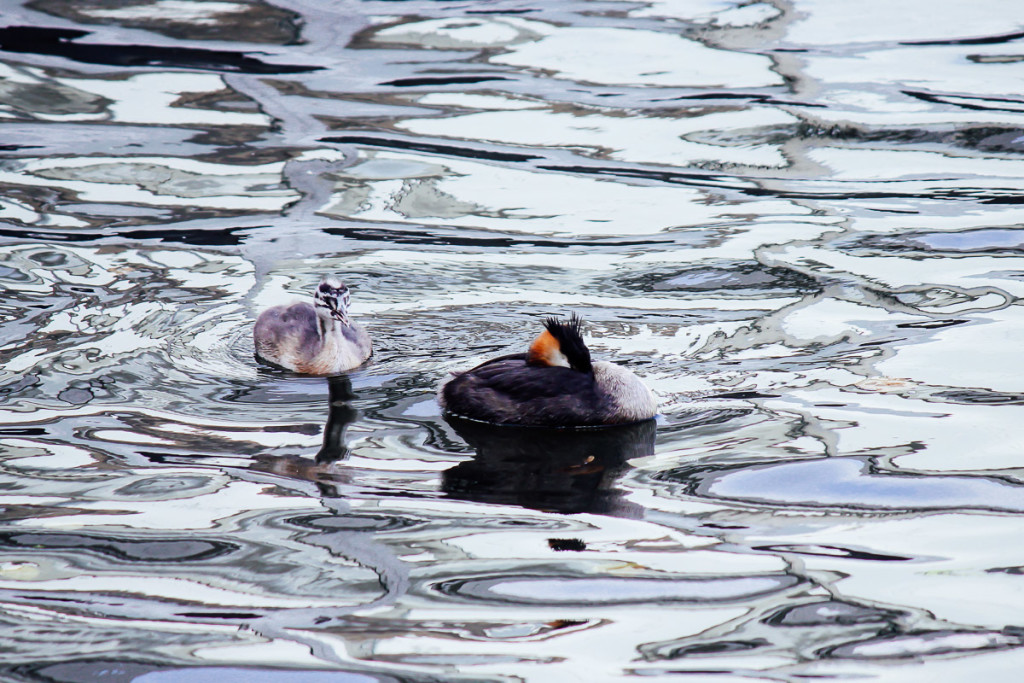 pair of great crested grebe drifting on water surface