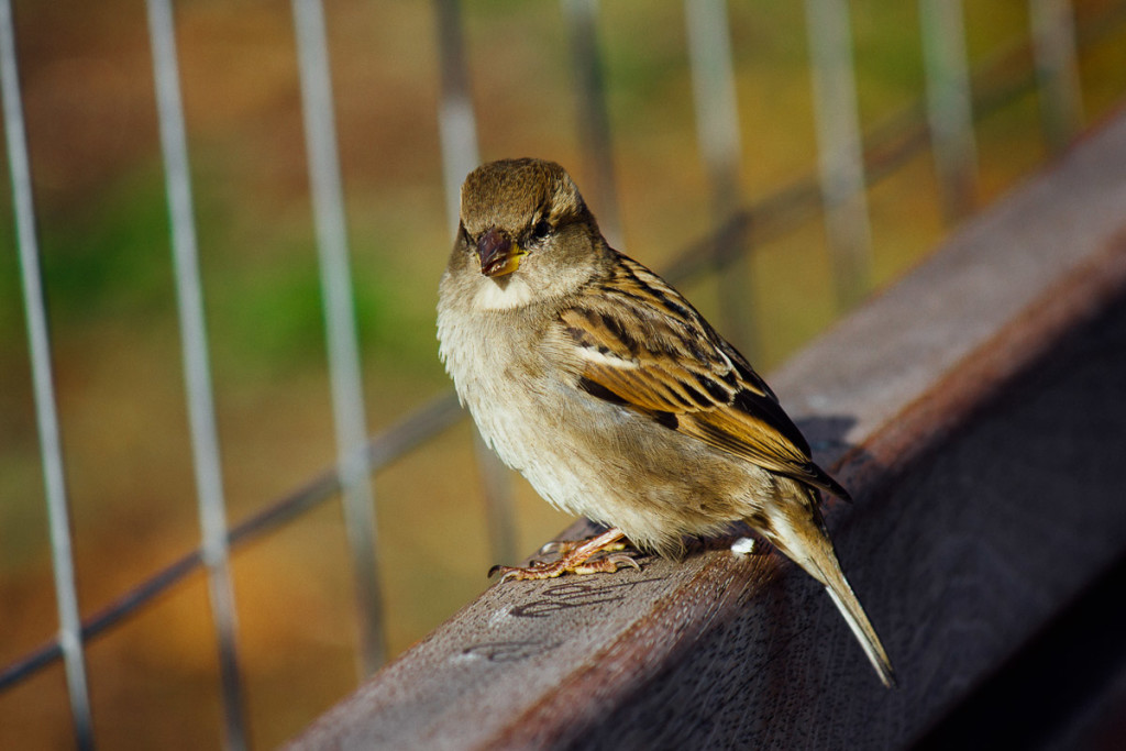 sparrow on wooden bench in front of fence