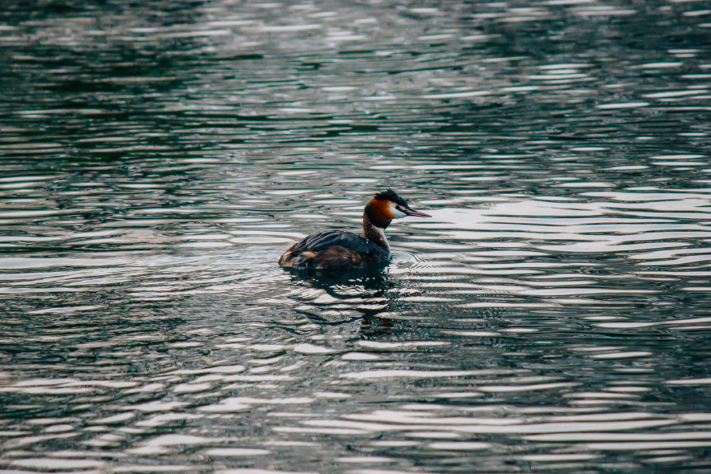 great crested grebe swimming on the lake