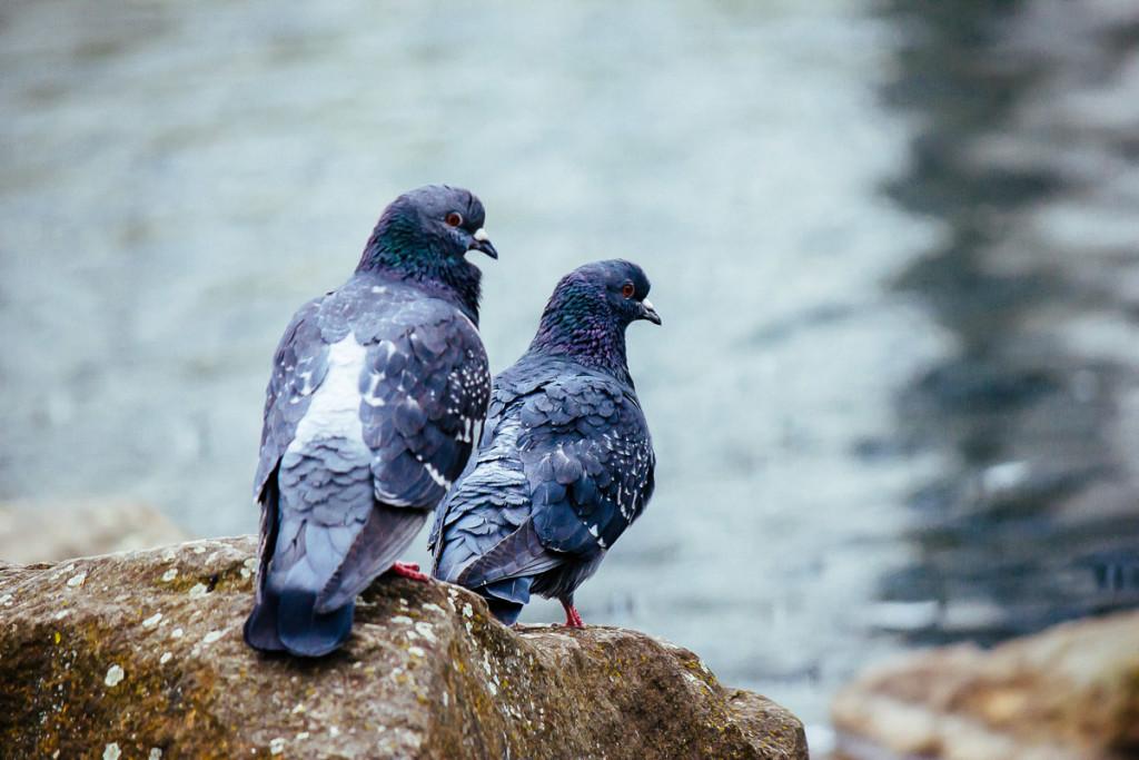 ein Taubenpärchen mit Wasser im Hintergrund