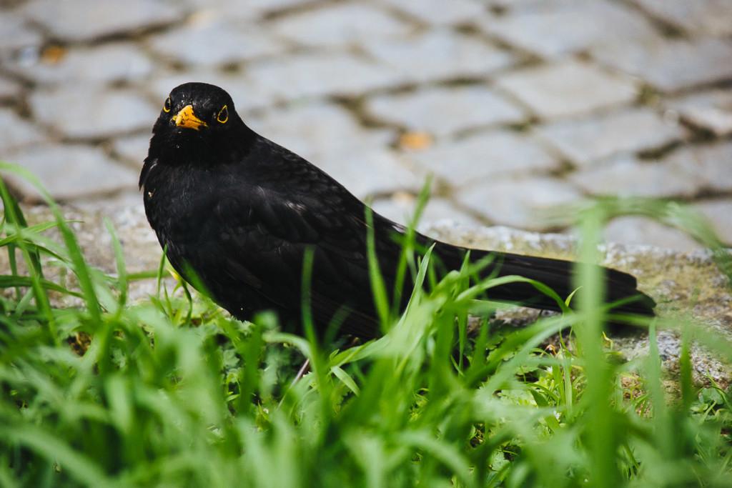 Male blackbird sitting between grass and cobblestones