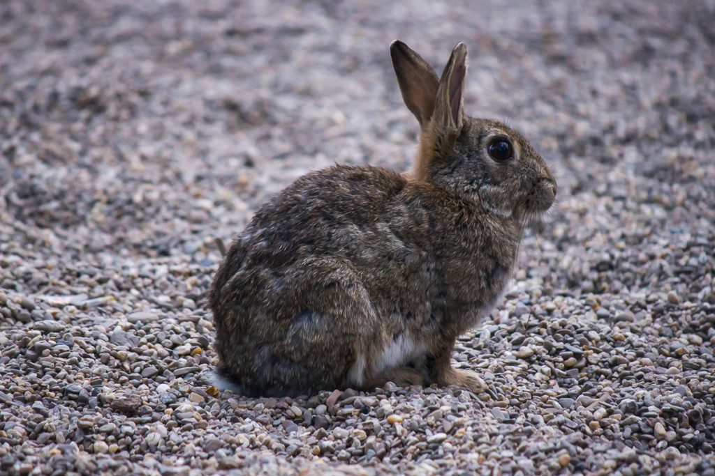 brown rabbit on grey pebbles