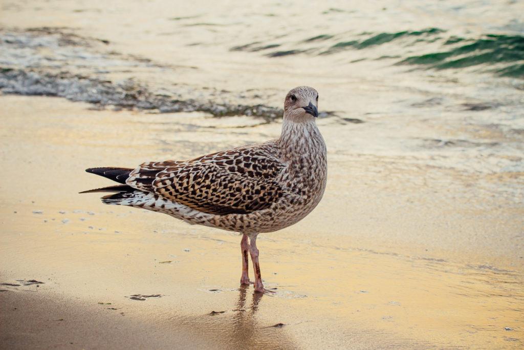 Juvenile European herring gull standing in golden light on the beach near the water