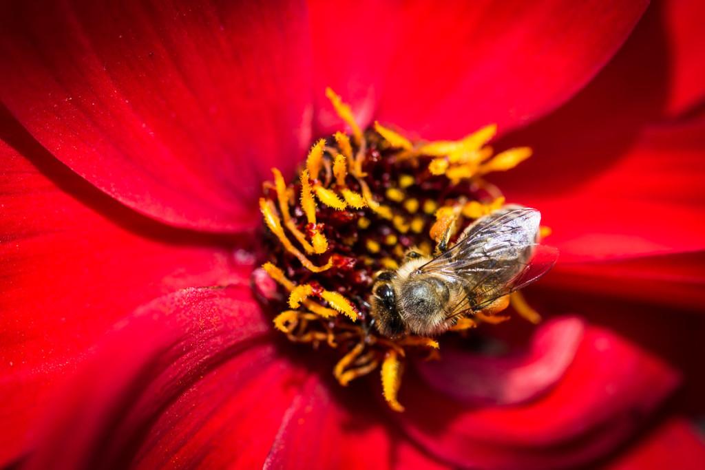 Biene auf roter Blume