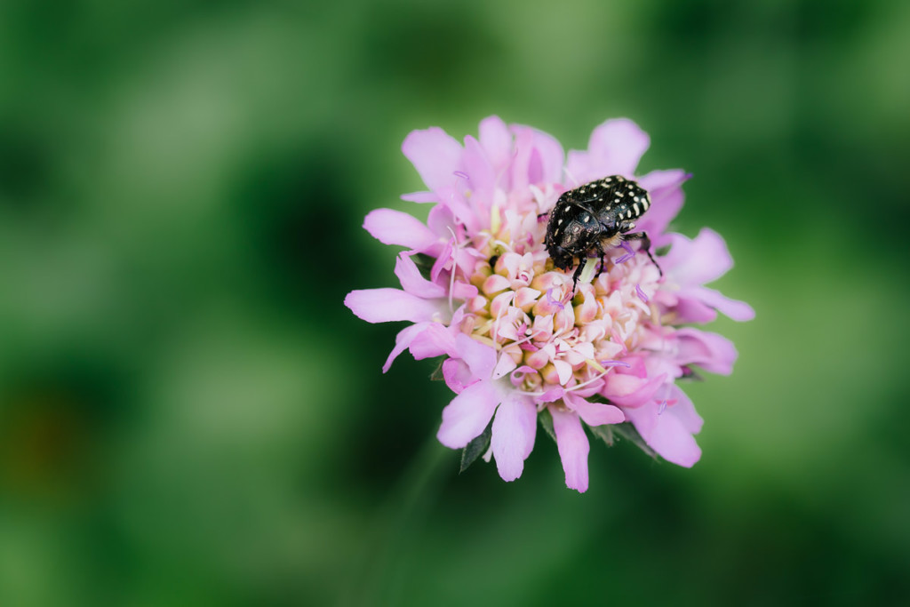 black bug on pink flower with green background