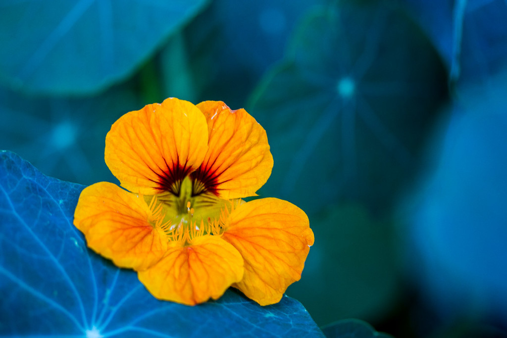 orange nasturtium blossom with blue-green leaves in background