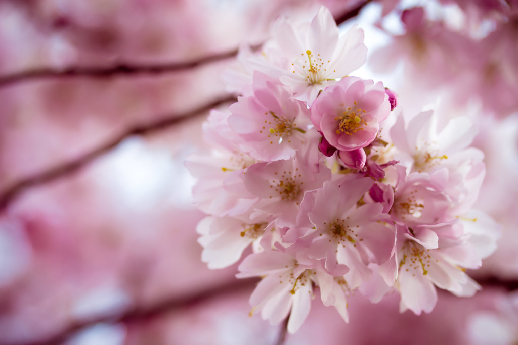 almond blossoms with blurred pink background
