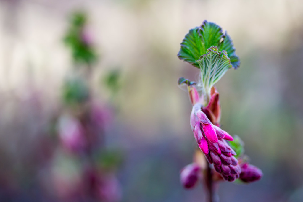 still closed wild currant blossom with blurred background