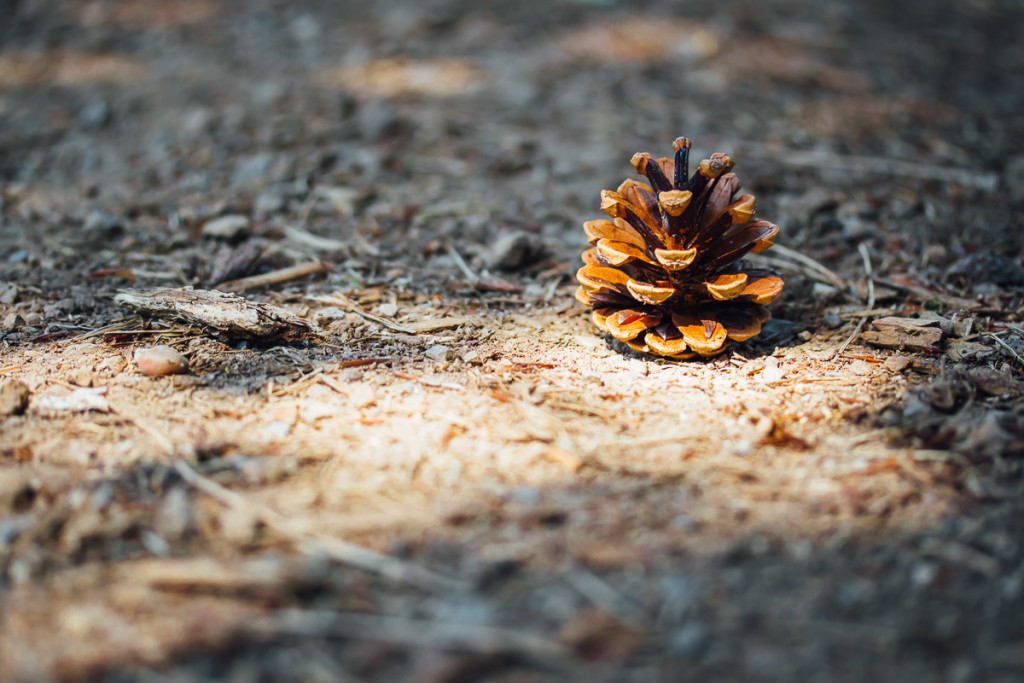 pine cone in sunlight on earthy ground