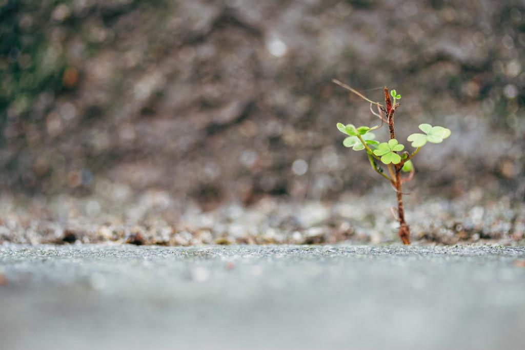 kleine Kleepflanze wächst aus einem Spalt zwischen Gehweg und Hauswand