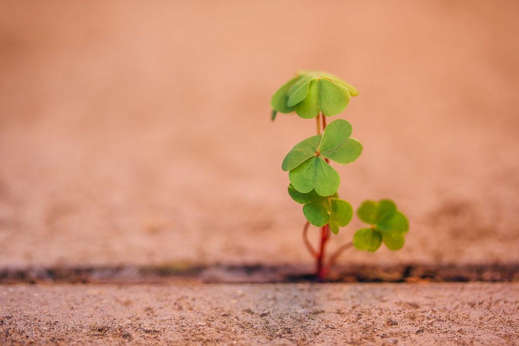 Kleine Kleepflanze wächst in Lücke zwischen Steinplatten