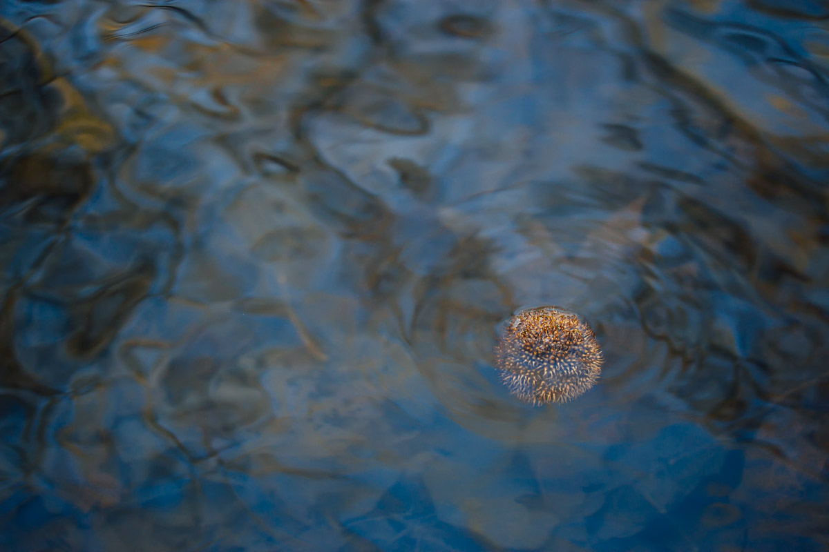 plane tree flower drifting on water surface