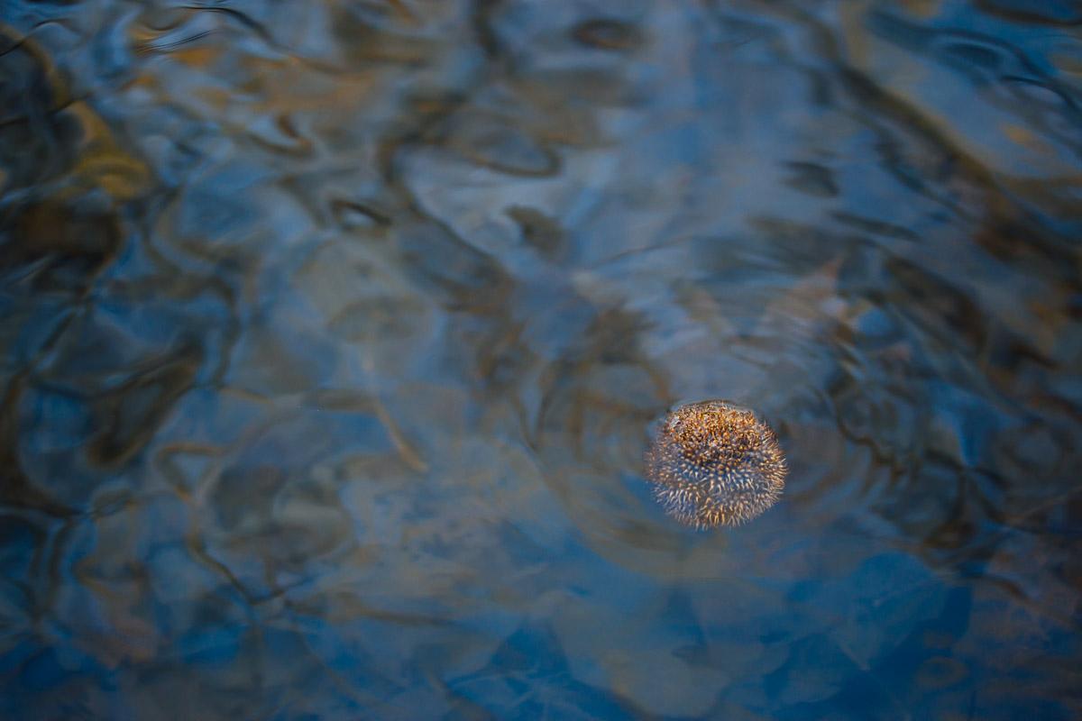 Blüte einer Platane auf dem Wasser treibend