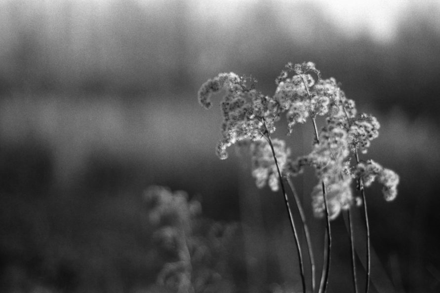 Verwelkte Blütenstände von Goldrute auf einer Wiese