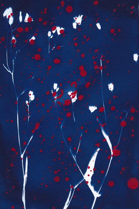 Cyanotypie von kleinem Habichtskraut mit roten Acrylfarbespritzern