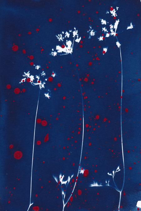 Cyanotypie von zarten Wildblumen mit roten Acrylfarbespritzern